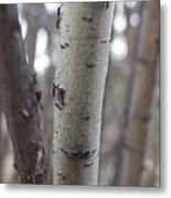 Aspen Bark Detail Metal Print