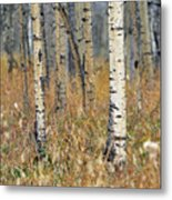 Aspen Forest, Mountain View County Metal Print