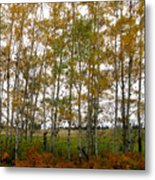 Aspen In Fall Metal Print
