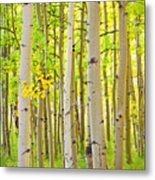 Aspen Tree Forest Autumn Time Portrait Metal Print