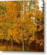 Aspen Trees With Autumn Leaves  Metal Print