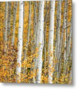 Aspen With Fall Color Metal Print