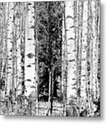 Aspens And The Pine Black And White Fine Art Print Metal Print