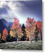 Aspens In Autumn Light Metal Print