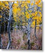 Aspens In Autumn Metal Print