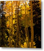Aspens In Fall Metal Print