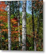 Aspens In Fall Forest Metal Print