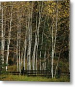 Aspens In The Fall Metal Print