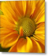 Aster Close Up Metal Print
