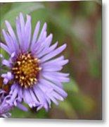 Aster Flower Metal Print