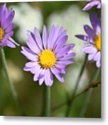 Asters Metal Print