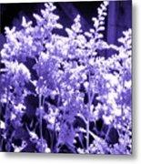 Astilbleflowers In Violet Hue Metal Print