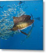 Atlantic Sailfish Hunting Metal Print