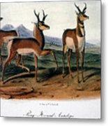 Audubon: Antelope, 1846 Metal Print