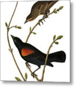 Audubon: Blackbird Metal Print