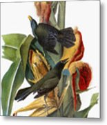 Audubon: Grackle Metal Print