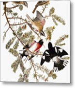 Audubon: Grosbeak Metal Print