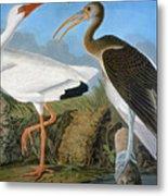 Audubon: Ibis Metal Print