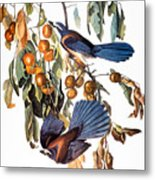 Audubon: Scrub Jay, 1827-38 Metal Print