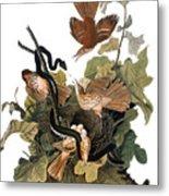 Audubon: Thrasher Metal Print