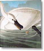 Audubon: Trumpeter Swan Metal Print