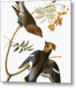 Audubon: Waxwing Metal Print