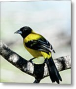 Audubon's Oriole Back Wings Metal Print