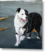 Australian Shepard Border Collie Metal Print