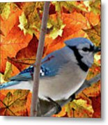 Autumn Blue Jay Metal Print by Debra     Vatalaro