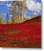 Autumn Birches And Barrens Metal Print