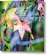 Autumn Color Changing Leaves On A Tree Branch Metal Print