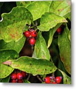 Autumn Dogwood Berries Metal Print
