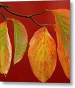 Autumn Dogwood Leaves On Red Metal Print