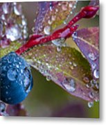 autumn Huckleberry berry and leaves macro in autumn Metal Print