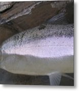 Autumn Ironside Trout Metal Print by Paul Hurtubise