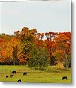 Autumn Minnesota Black Angus Cattle Metal Print