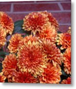 Autumn Mums - Against Brick Metal Print