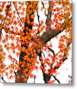 Autumn Red Leaves On A Tree   Metal Print