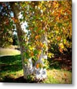 Autumn Sycamore Tree Metal Print