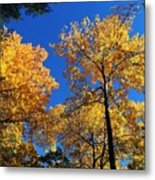 Autumn Yellow Foliage On Tall Trees Against A Blue Sky In Palermo Metal Print