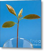 Avocado Seedling Metal Print