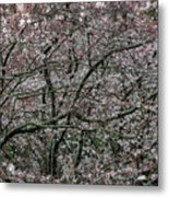 Awash In Cherry Blossoms Metal Print