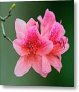Azalea Blooms On A Green Background Metal Print
