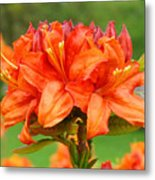 Azaleas Orange Red Azalea Flowers 11 Botanical Giclee Art Baslee Troutman Metal Print