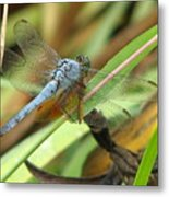 Azure Dragonfly 1 Metal Print