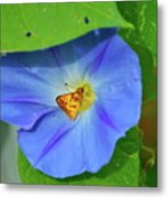Azure Morning Glory Metal Print