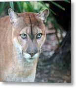 Babcock Wilderness Ranch - Oceola The Panther Gazing Metal Print