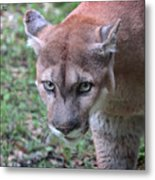Babcock Wilderness Ranch - Oceola The Panther On The Prowl Metal Print