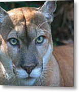 Babcock Wilderness Ranch - Oceola The Panther Pleasantly Peering Metal Print