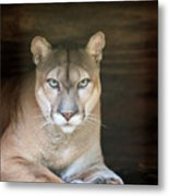Babcock Wilderness Ranch - Portrait Of Oceola The Panther Metal Print